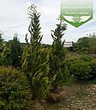 Chamaecyparis lawsoniana 'Ivonne', Кипарисовика Лавсона 'Івонн',Кореневий кому/сітка,200-220см, фото 10