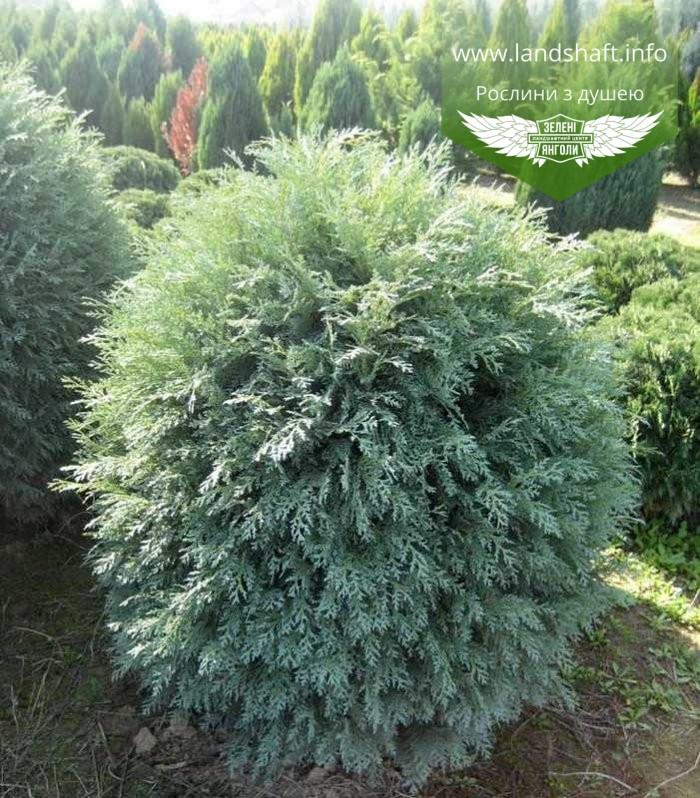 Chamaecyparis lawsoniana 'Silver Globus', Кипарисовик Лавсона 'Сілвер Глобус',C2 - горщик 2л,25-30см