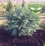 Chamaecyparis lawsoniana 'Silver Globus', Кипарисовик Лавсона 'Сілвер Глобус',C2 - горщик 2л,25-30см, фото 5