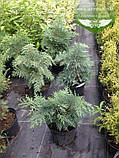 Chamaecyparis lawsoniana 'Silver Globus', Кипарисовик Лавсона 'Сілвер Глобус',C2 - горщик 2л,25-30см, фото 7