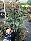 Chamaecyparis lawsoniana 'Silver Globus', Кипарисовика Лавсона 'Сілвер Глобус',Кореневий кому/сітка,80-100см, фото 2