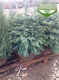 Chamaecyparis lawsoniana 'Silver Globus', Кипарисовика Лавсона 'Сілвер Глобус',Кореневий кому/сітка,80-100см, фото 6