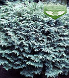 Chamaecyparis lawsoniana 'Silver Globus', Кипарисовика Лавсона 'Сілвер Глобус',Кореневий кому/сітка,80-100см, фото 8