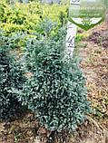 Chamaecyparis pisifera 'Boulevard', Кипарисовик горохоплідний 'Бульвард',P7-Р9 - горщик 9х9х9, фото 8
