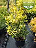 Chamaecyparis pisifera 'Plumosa Aurea', Кипарисовик горохоплідний 'Плюмоза Ауреа',C2 - горщик 2л,40-60см, фото 2