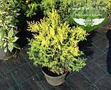 Chamaecyparis pisifera 'Plumosa Aurea', Кипарисовик горохоплідний 'Плюмоза Ауреа',C2 - горщик 2л,40-60см, фото 3