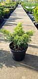 Chamaecyparis pisifera 'Plumosa Aurea', Кипарисовик горохоплідний 'Плюмоза Ауреа',C2 - горщик 2л,40-60см, фото 4