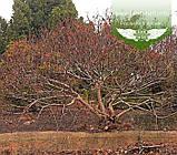 Верба тонкостовбурова чорноколосовидна,C2 - горщик 2л, фото 4
