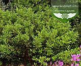 Sаlix gracilistyla 'Melanostachys', Верба тонкостовбурова чорноколосовидна,C2 - горщик 2л, фото 5