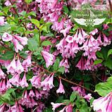Weigela praecox 'Bouquet Rose', Вейгела рання 'Букет Роз',80-100см,C5-C7 - горщик 5-7л, фото 2