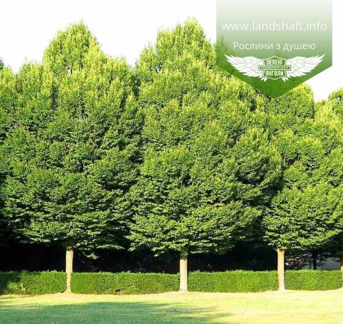 Carpinus betulus, Граб європейський,Кореневий кому/сітка,280-300см