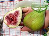 Ficus carica, Інжир,P7-Р9 - горщик 9х9х9, фото 3