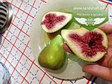 Ficus carica, Інжир,P7-Р9 - горщик 9х9х9, фото 4