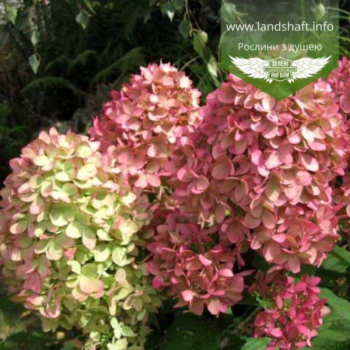 Hydrangea paniculata 'Magical Candle', Гортензія волотиста 'Меджікел Кендл',C25 - горщик 20-25л