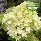Hydrangea paniculata 'Magical Candle', Гортензія волотиста 'Меджікел Кендл',C25 - горщик 20-25л, фото 2