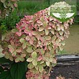Hydrangea paniculata 'Magical Candle', Гортензія волотиста 'Меджікел Кендл',C25 - горщик 20-25л, фото 3