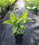 Hydrangea paniculata 'Magical Candle', Гортензія волотиста 'Меджікел Кендл',C25 - горщик 20-25л, фото 6