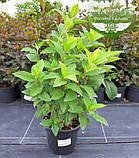 Hydrangea paniculata 'Magical Candle', Гортензія волотиста 'Меджікел Кендл',C25 - горщик 20-25л, фото 7