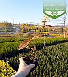 Hydrangea paniculata 'Magical Candle', Гортензія волотиста 'Меджікел Кендл',C25 - горщик 20-25л, фото 8