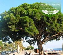 Pinus pinea, Сосна італійська,C2 - горщик 2л