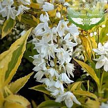 Deutzia gracilis 'Variegata', Дейція витончена 'Варієгата',C2 - горщик 2л