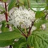 Cornus alba 'Sibirica', Дерен білий 'Сібіріка',C5 - горщик 5л, фото 2