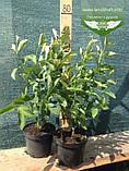 Cornus sericea 'Flaviramea', Дерен шовковистий 'Флавірамеа',P7-Р9 - горщик 9х9х9, фото 2
