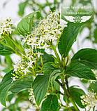 Cornus sericea 'Flaviramea', Дерен шовковистий 'Флавірамеа',P7-Р9 - горщик 9х9х9, фото 4