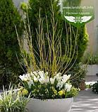 Cornus sericea 'Flaviramea', Дерен шовковистий 'Флавірамеа',P7-Р9 - горщик 9х9х9, фото 5