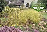 Cornus sericea 'Flaviramea', Дерен шовковистий 'Флавірамеа',P7-Р9 - горщик 9х9х9, фото 6