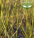 Cornus sericea 'Flaviramea', Дерен шовковистий 'Флавірамеа',P7-Р9 - горщик 9х9х9, фото 8