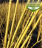 Cornus sericea 'Flaviramea', Дерен шовковистий 'Флавірамеа',P7-Р9 - горщик 9х9х9, фото 10