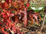 Acer ginnala 'Flame', Клен Гіннала 'Флейм',WRB - ком/сітка,140-160см,Мультиштамб, фото 5