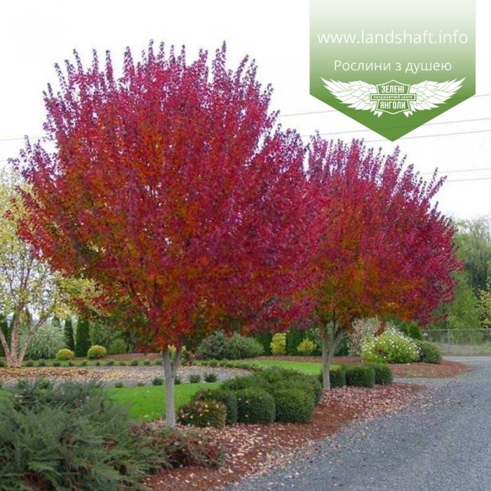 Acer rubrum 'Burgundy Belle', Клен червоний 'Бургунді Бель',Кореневий кому/сітка,250-300см,TG4-6