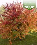 Acer rubrum 'Burgundy Belle', Клен червоний 'Бургунді Бель',Кореневий кому/сітка,250-300см,TG4-6, фото 2