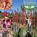 Acer rubrum 'Burgundy Belle', Клен червоний 'Бургунді Бель',Кореневий кому/сітка,250-300см,TG4-6, фото 3