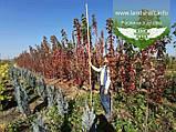Acer rubrum 'Burgundy Belle', Клен червоний 'Бургунді Бель',Кореневий кому/сітка,250-300см,TG4-6, фото 4