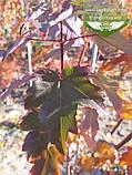 Acer rubrum 'Burgundy Belle', Клен червоний 'Бургунді Бель',Кореневий кому/сітка,250-300см,TG4-6, фото 5