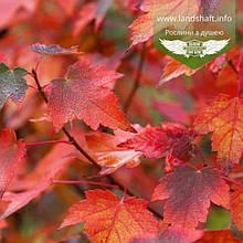 Acer rubrum 'Sun Valley', Клен червоний 'Сан Велі',WRB - ком/сітка,250-300см,TG4-6