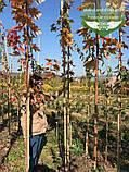 Acer x freemanii 'Sienna Glen', Клен Фрімана 'Сієнна Глен',WRB - ком/сітка,250-300см,TG4-6, фото 7
