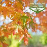 Acer x freemanii 'Sienna Glen', Клен Фрімана 'Сієнна Глен',WRB - ком/сітка,Напівштамб,TG6-8,200-250см, фото 2