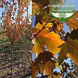 Acer x freemanii 'Sienna Glen', Клен Фрімана 'Сієнна Глен',WRB - ком/сітка,Напівштамб,TG6-8,200-250см, фото 5