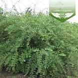 Spiraea cinerea 'Grefsheim', Спірея сіра 'Грефшейм',C2 - горщик 2л,40-60см, фото 2