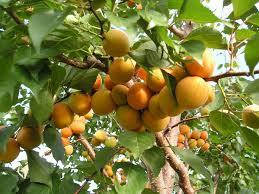 Полив абрикос- как правильно ухаживать за деревом