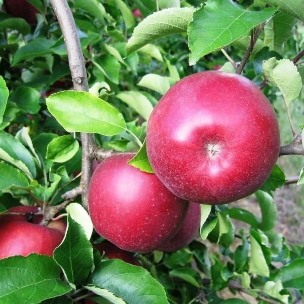 Саженцы Яблони Ред Джонапринц - зимняя, крупноплодная, зимостойкая