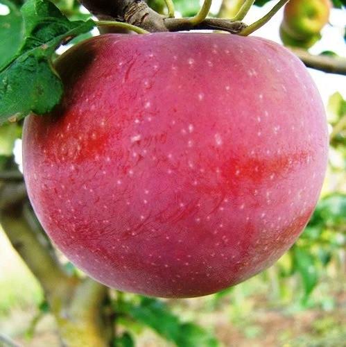 Саженцы Яблони Аскольда - зимняя, крупноплодная, урожайная