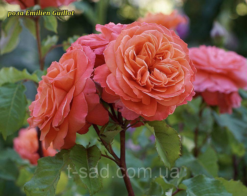 Роза Emilien Guillot (Эмильен Гийо)