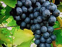 Саженцы винограда  Блэк фингер кишмиш (сша)
