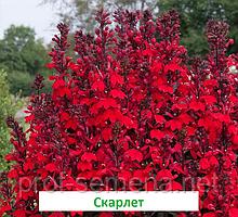 Лобелія Старшип 100 шт (колір на вибір) багаторічник