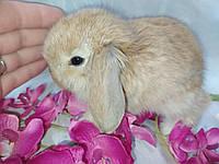 Висловухі кролики. Ручні гризуни. Подарунок дітям.